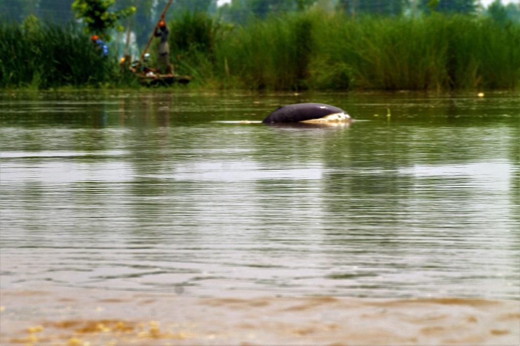 Dolphin-near-village-mundapind_WWF-India