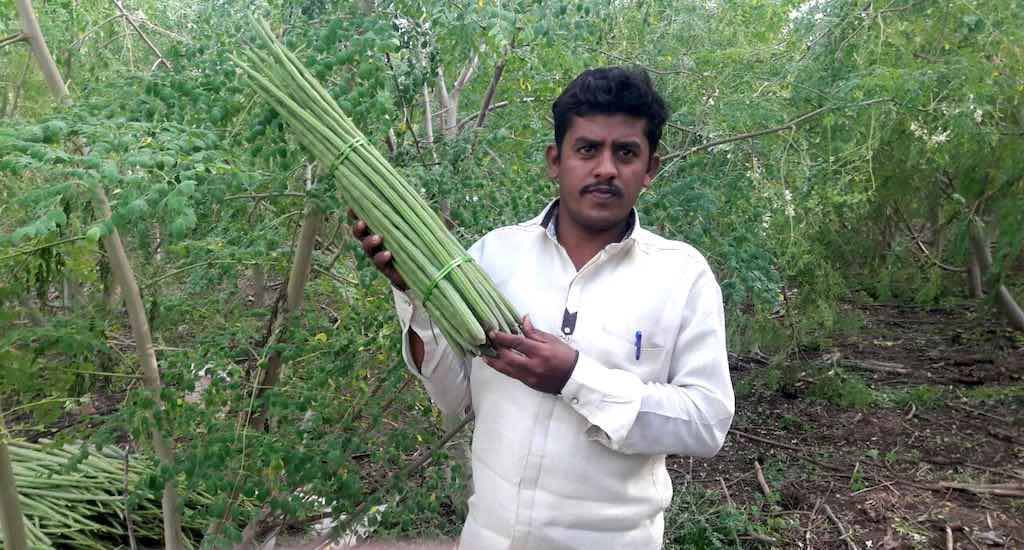 Drumstick cultivation boosts farm incomes in drought-prone Solapur
