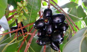 blackberry-173374_960_720
